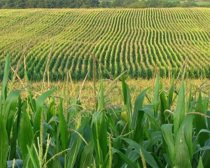 11_16_12-Corn-Field